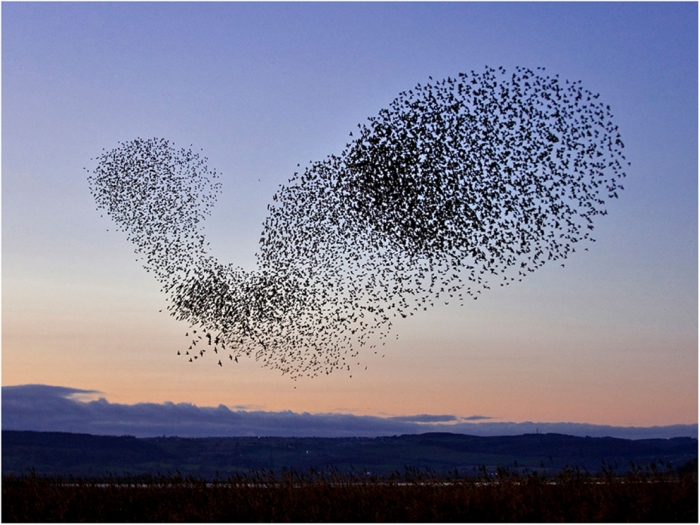 A spectacular flock of starlings in flight