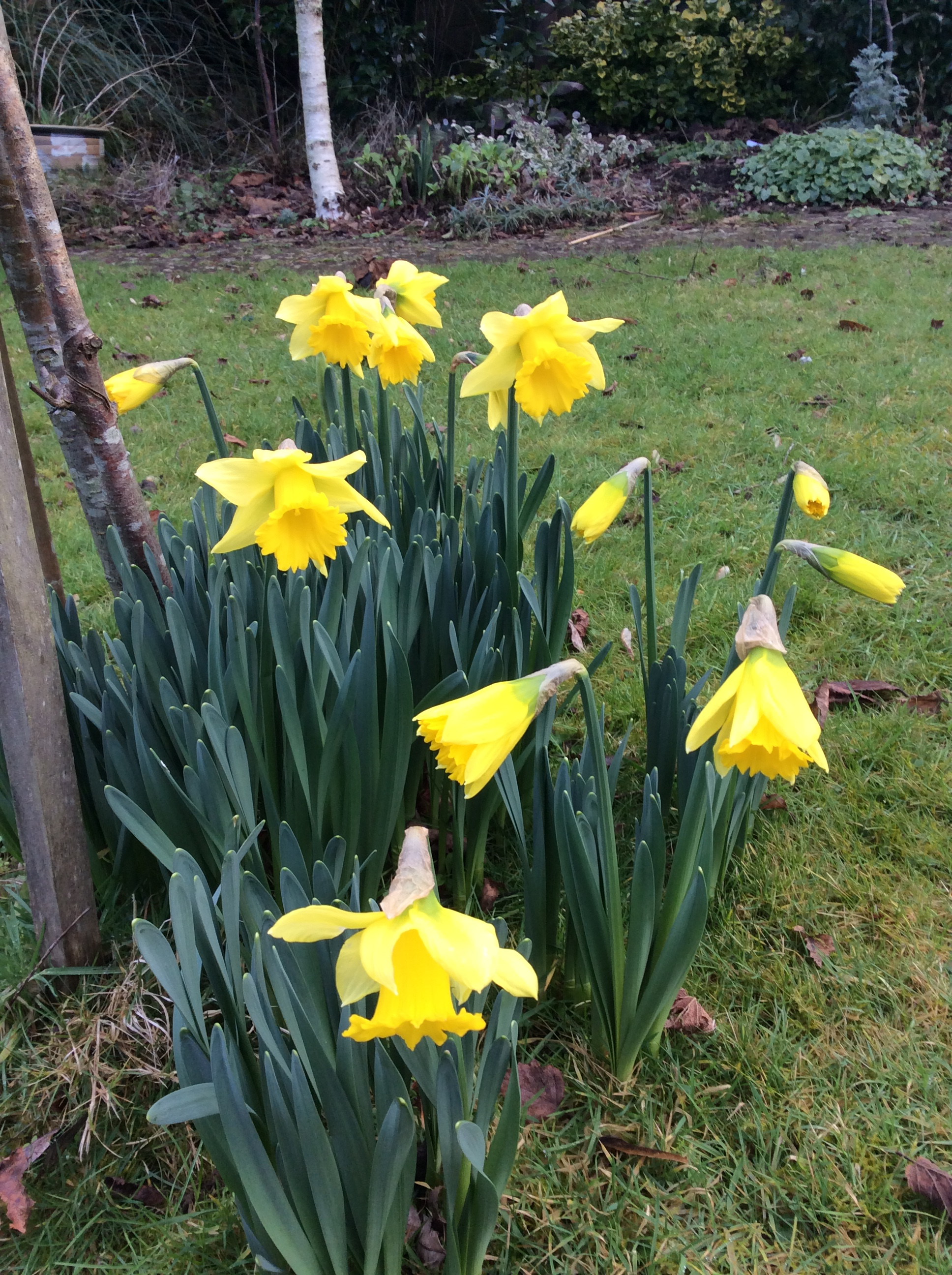 Very early daffodiils in December