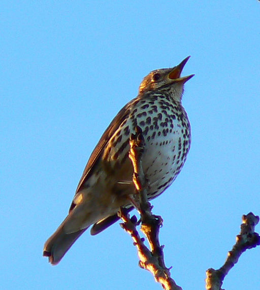 song_thrush_near_faringdon_folly_-_geograph-org-uk_-_682555