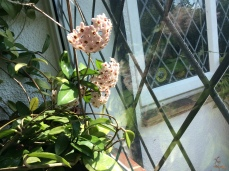Hoya carnosa (fills the house with evening scent)