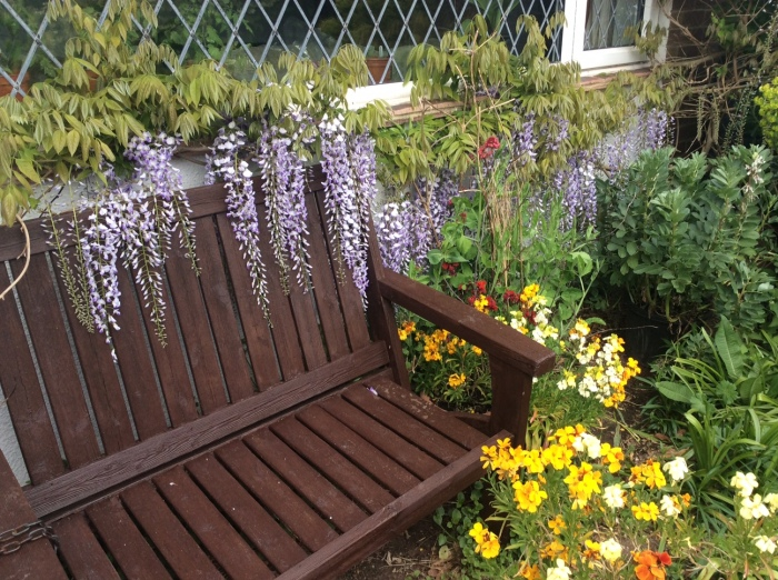 Wisteria flowers draped over a garden seat