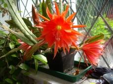 Epiphyllum glory