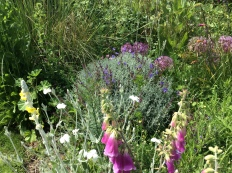 Verbascum, Lavender and Lychnis