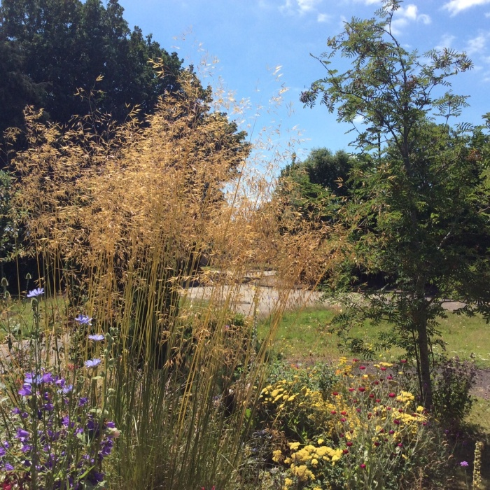 Glorious 'Golden Oats' Stipa