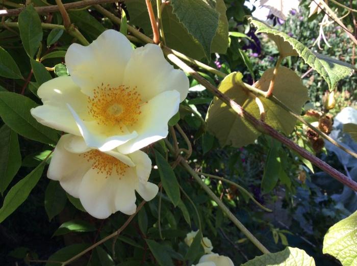 Blooms of Rose 'Mermaid'