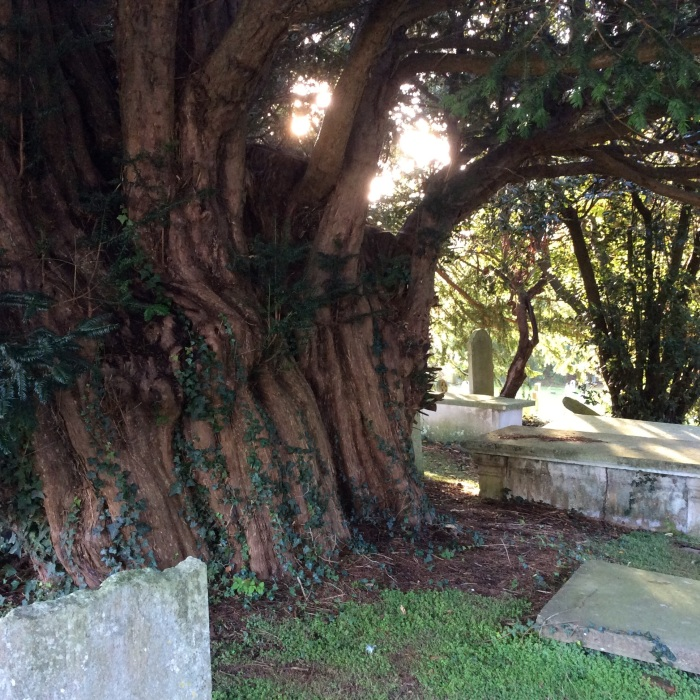 An ancient English Churchyard Yew Tree