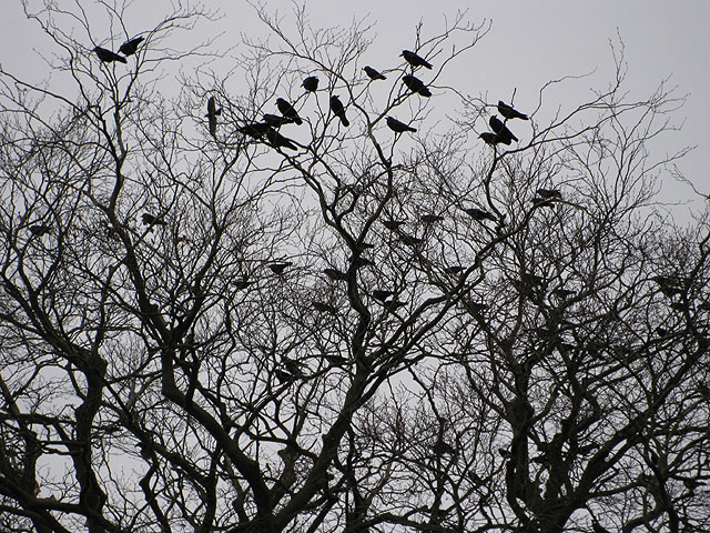 A_parliament_of_rooks_-_geograph.org.uk_-_1116638 (2)