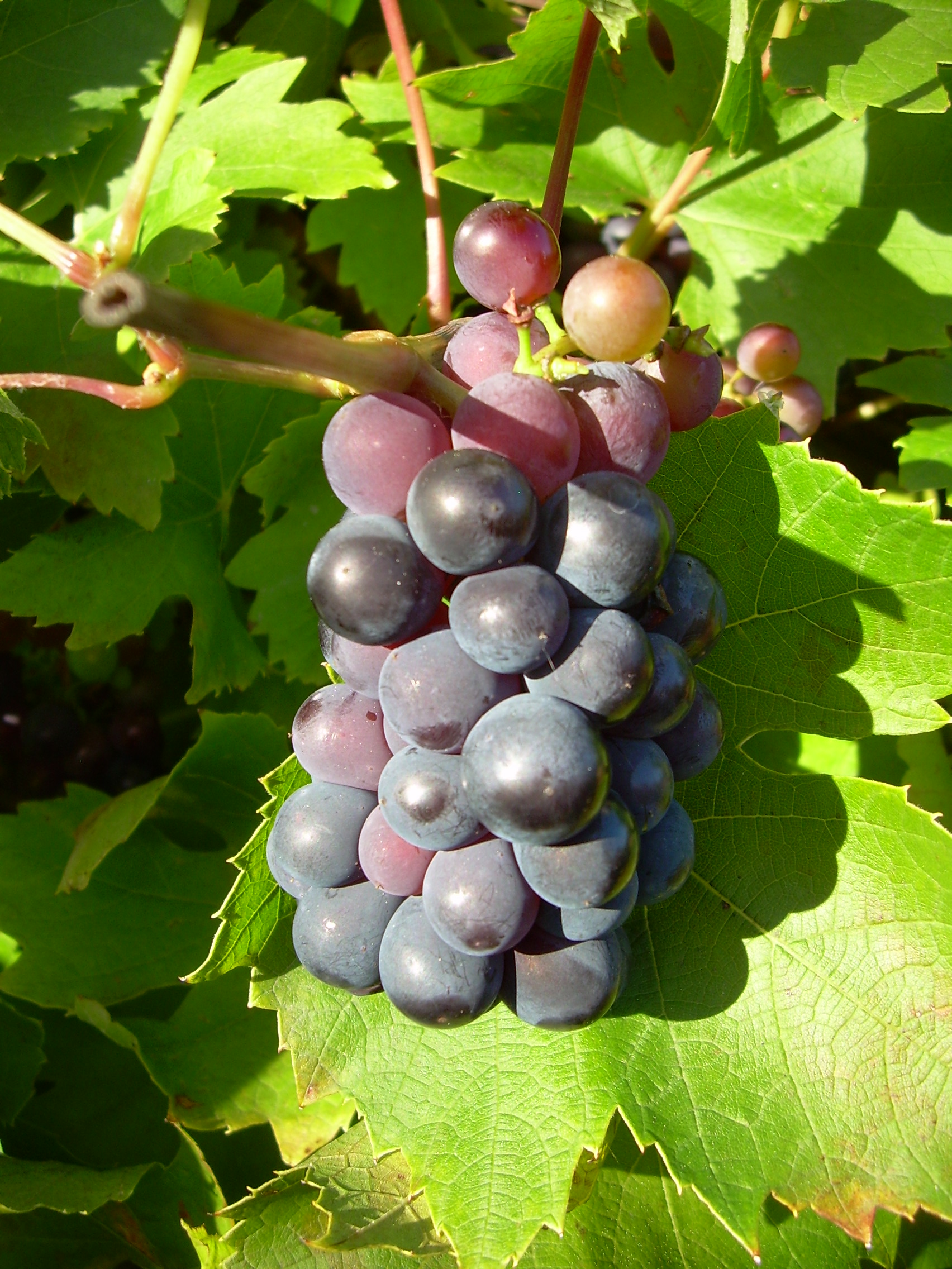 Photo of bunch of ripe grapes.