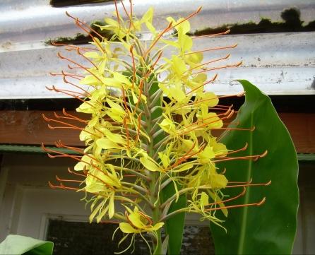 Sweet scented yellow spires of hedychium