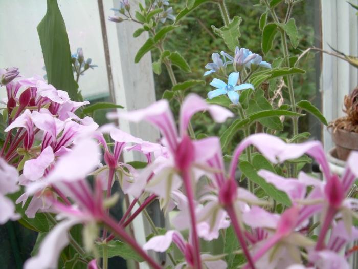 Pink Pelargonium with sky blue Tweedia