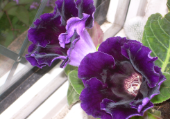 Deep violet Gloxinia violacea.