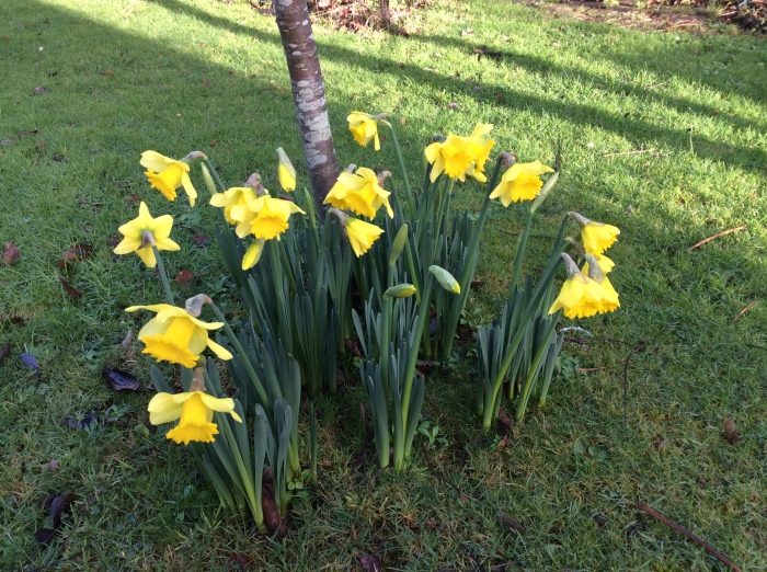 Very early garden daffodils in full flower