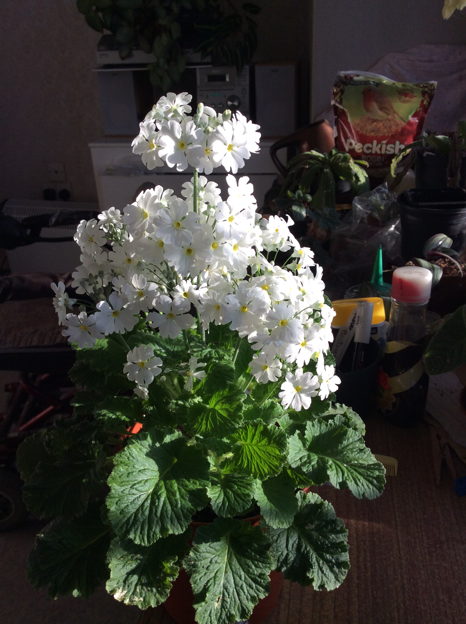 White Primula from my indoor winter garden