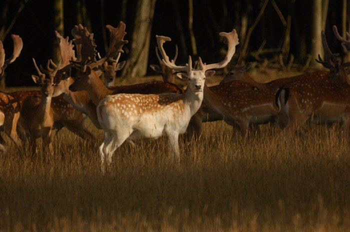 Wild deer in the evening light