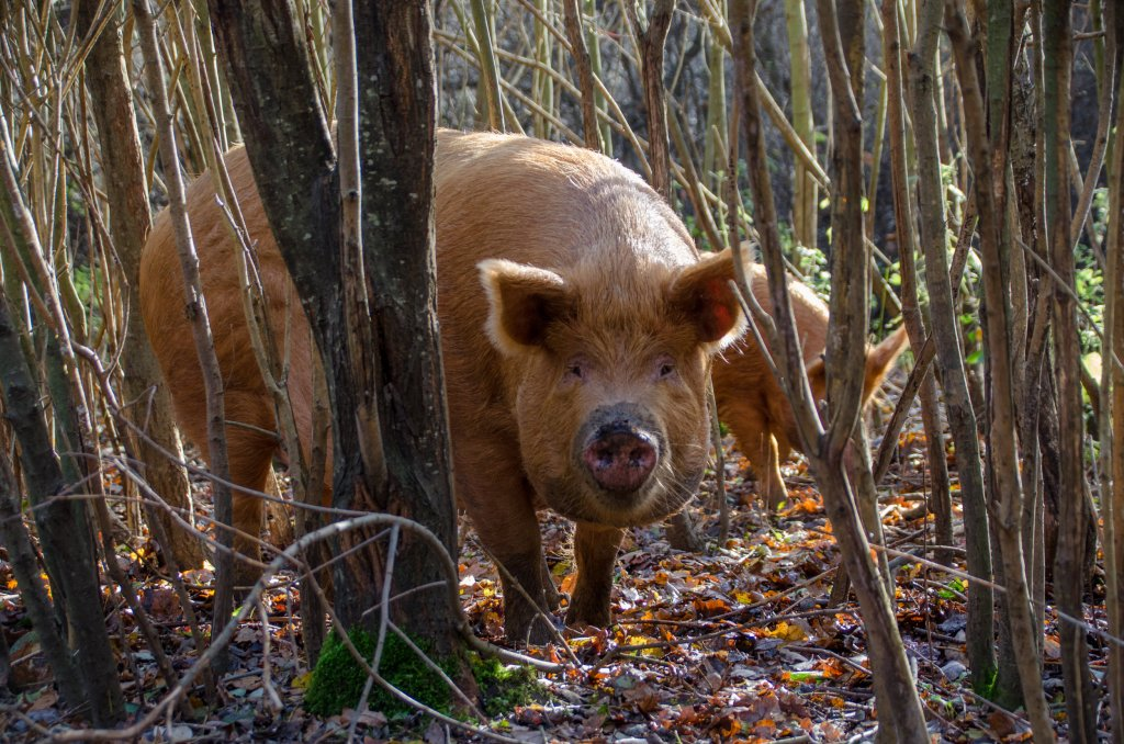Tamworth pigs rooting in the woods
