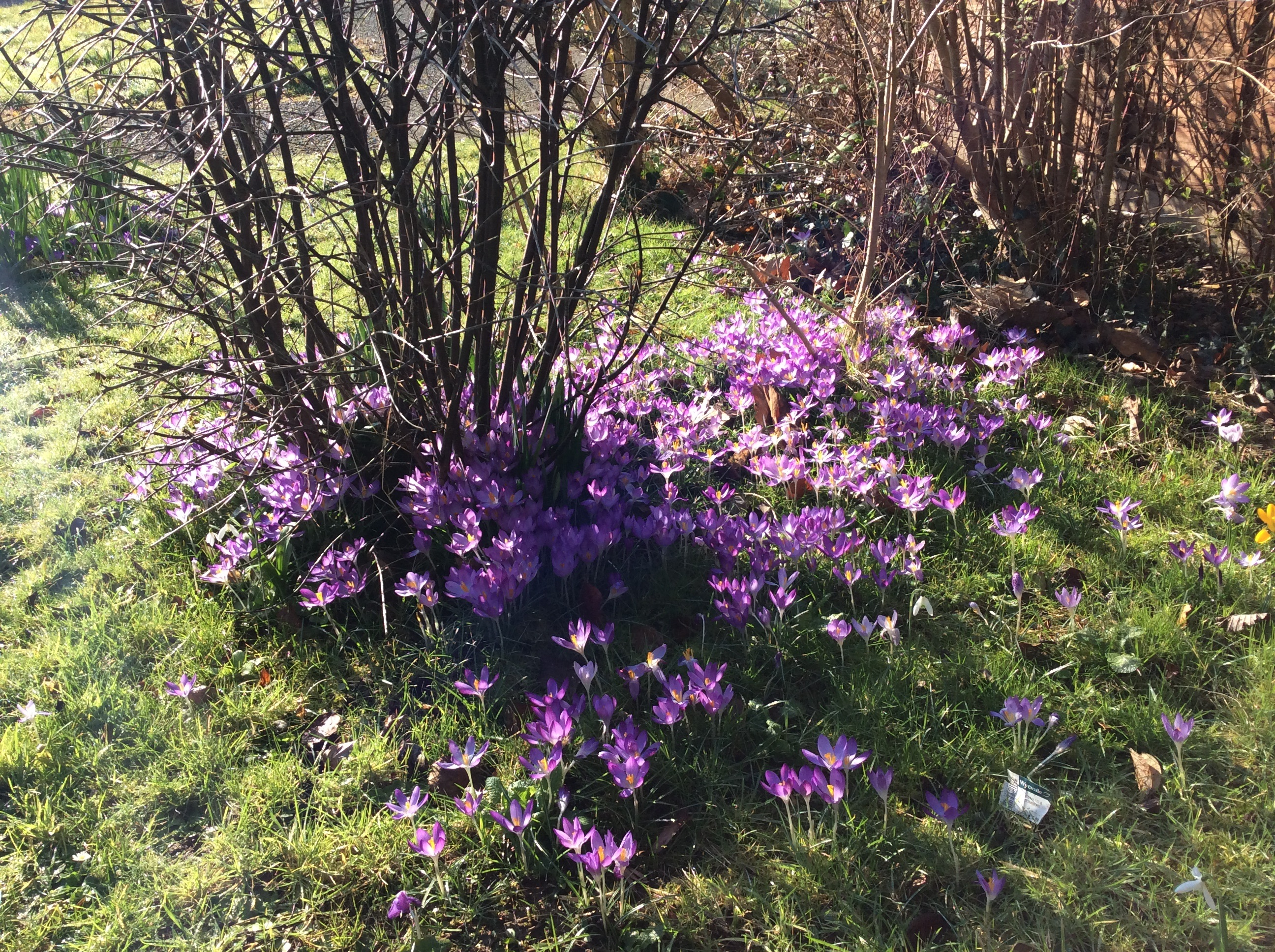 A carpet of purple crocus