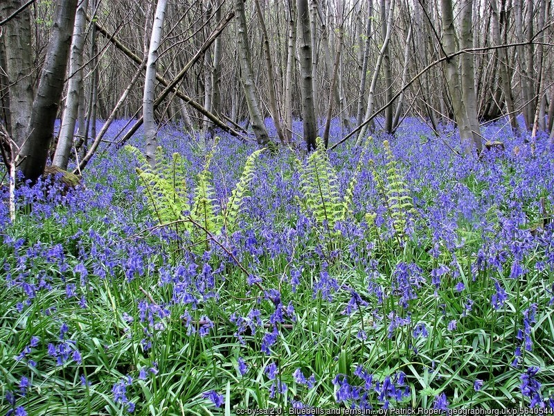 Coppiced wood with bluebells
