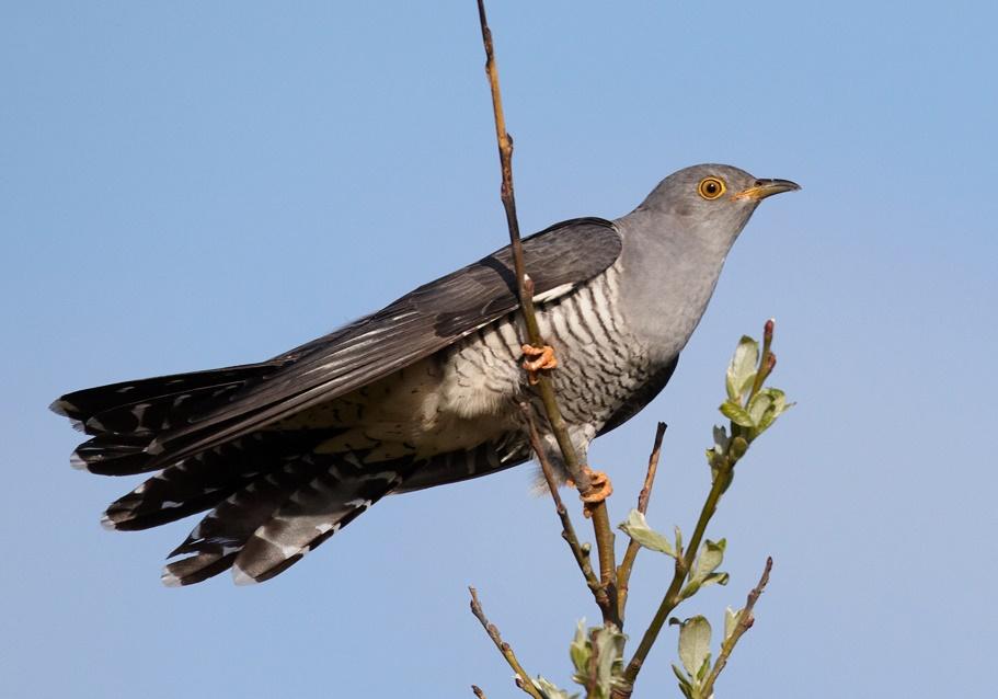 A Cuckoo