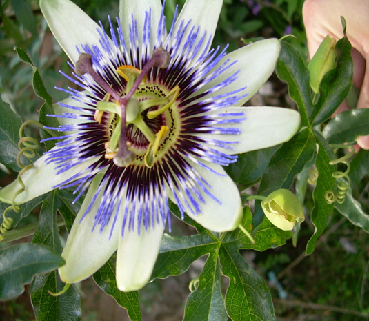 The 'Passion Flower' -