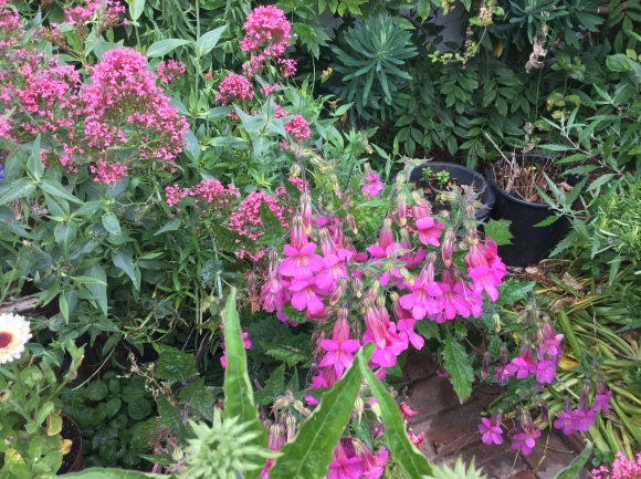 Pink Chinese foxgloves with Valerian