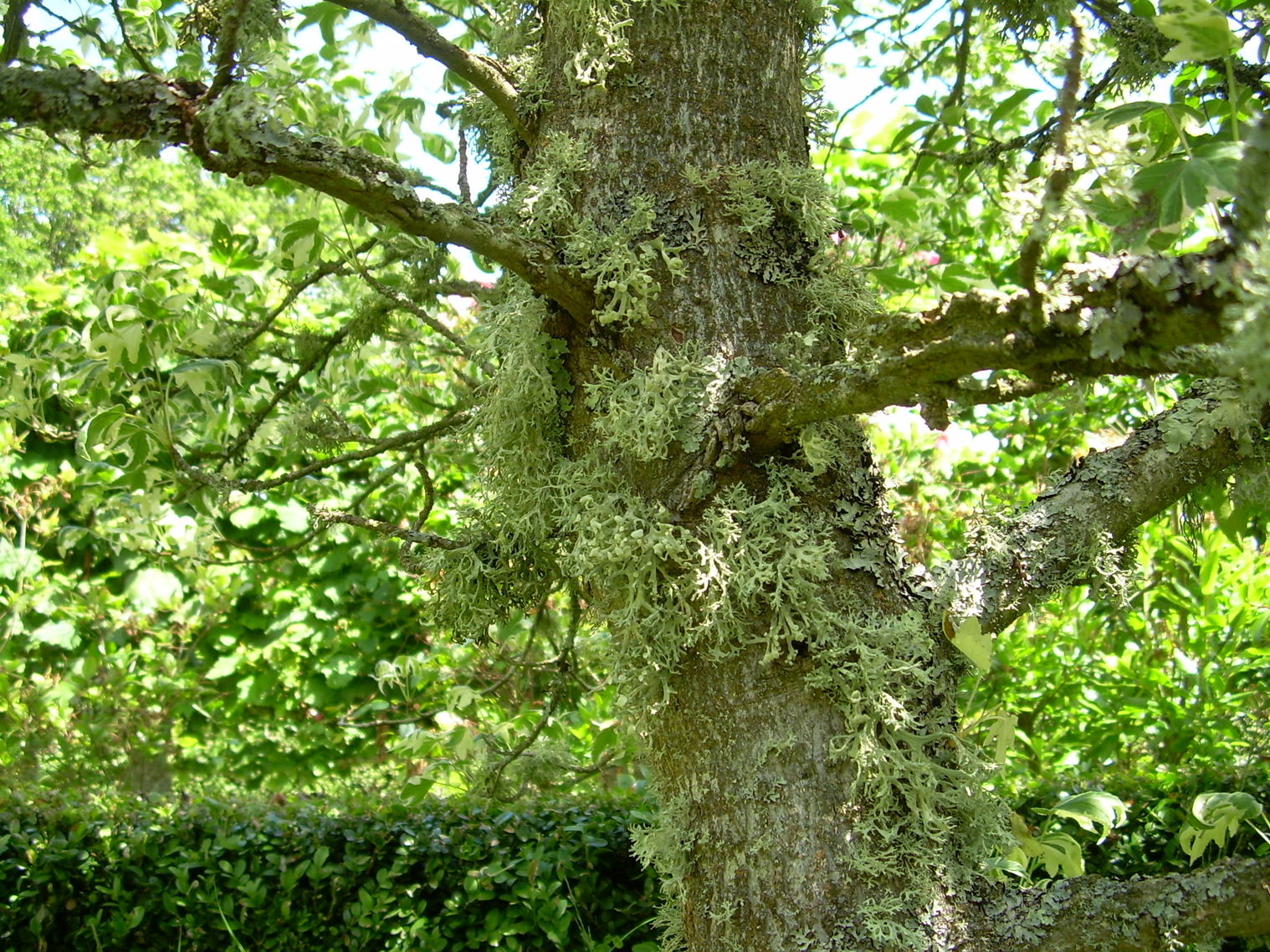 Tree covered with lichens