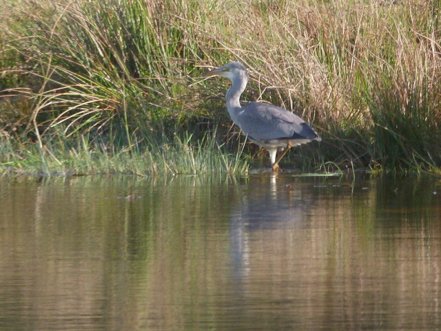 Heron at waterside