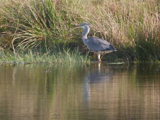 Heron at waterside