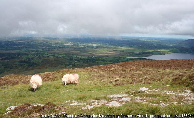 Sheep on hillside in Kerry, ireland