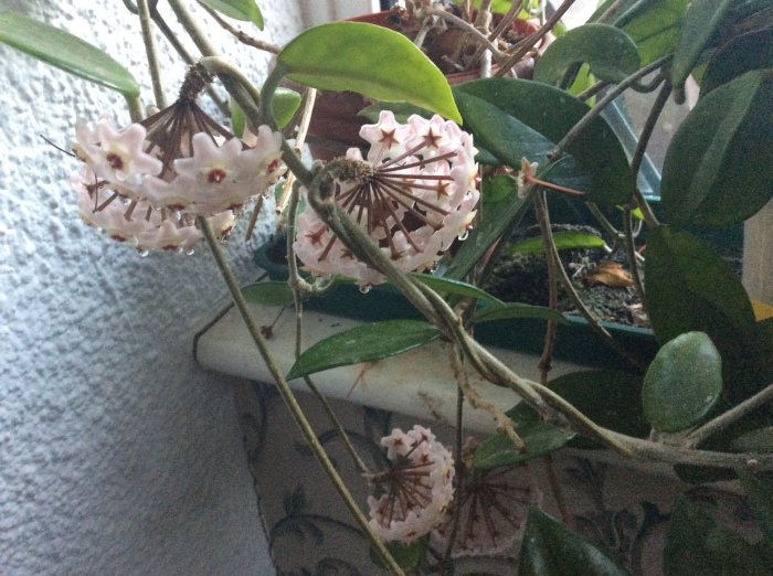 Hoya flowers with drops of nectar