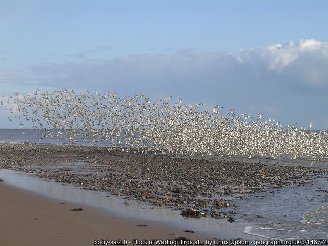 Large flock of sea birds rising from the mud flats.ts