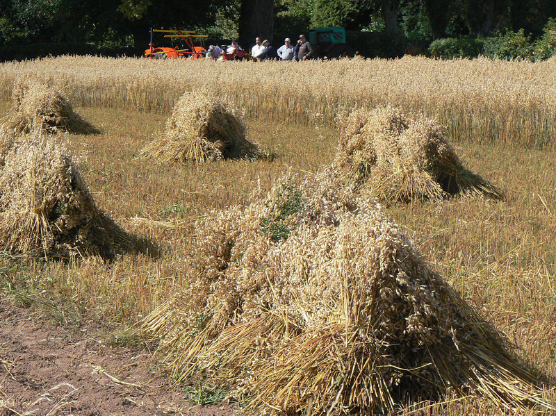 Stooks of oats in old fashioned harvest