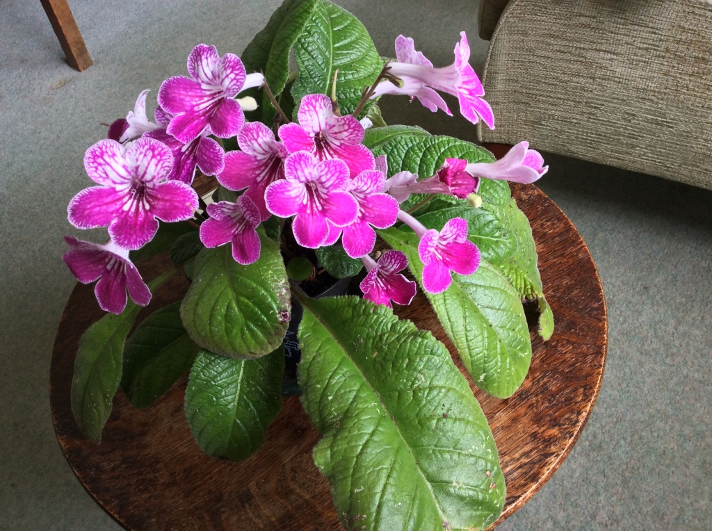Streptocarpus in flower