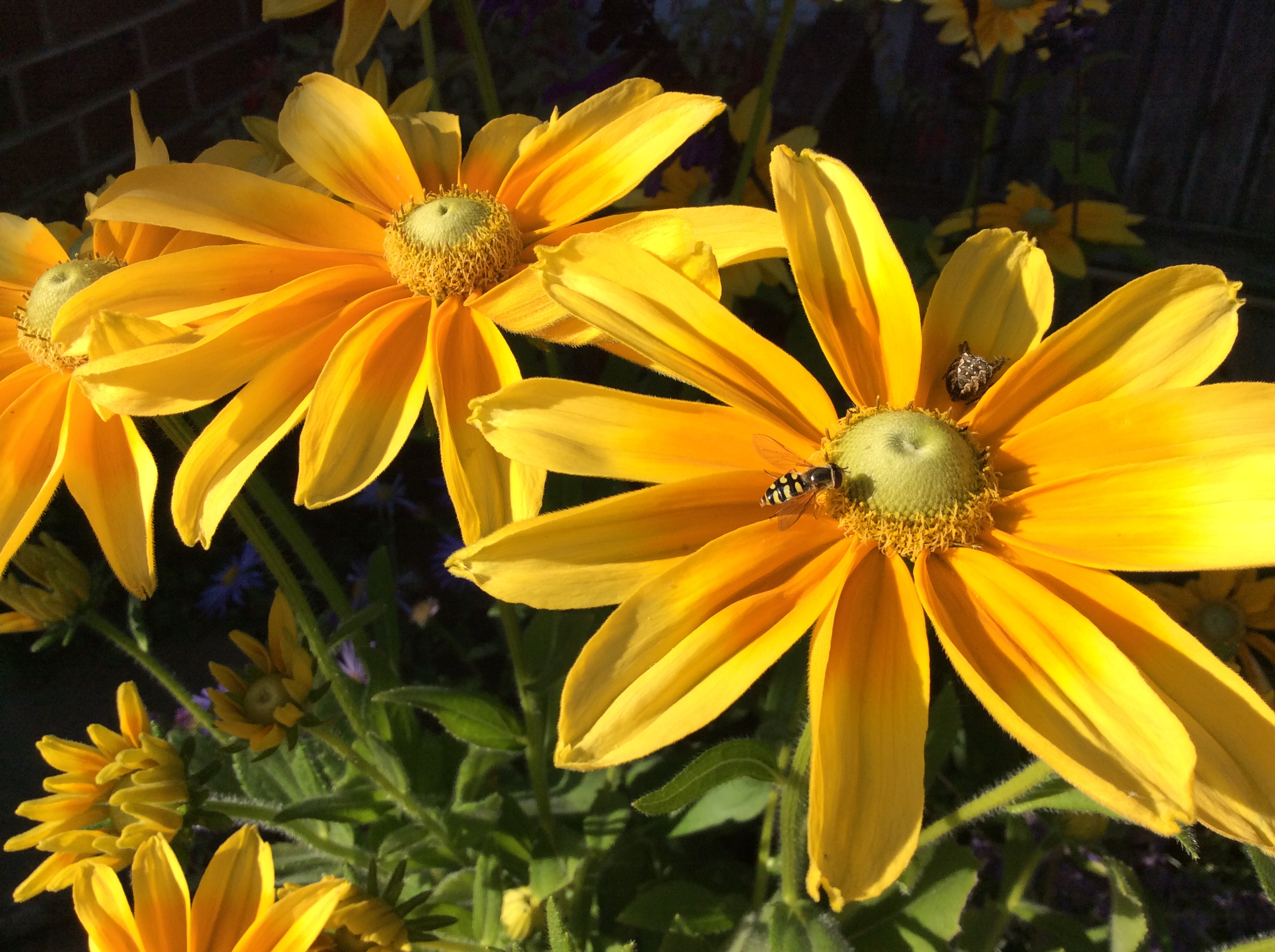 Insect on golden yellow sunflower