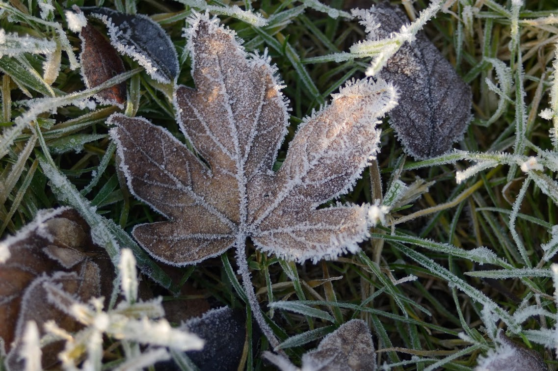 Frosted leaf on grass