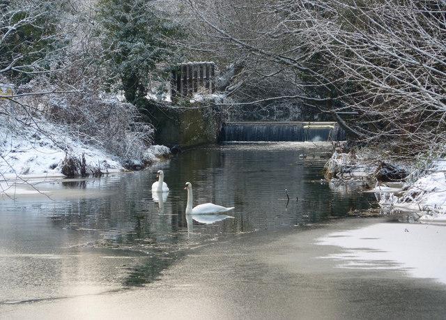 Two swans on frozen stream in winter