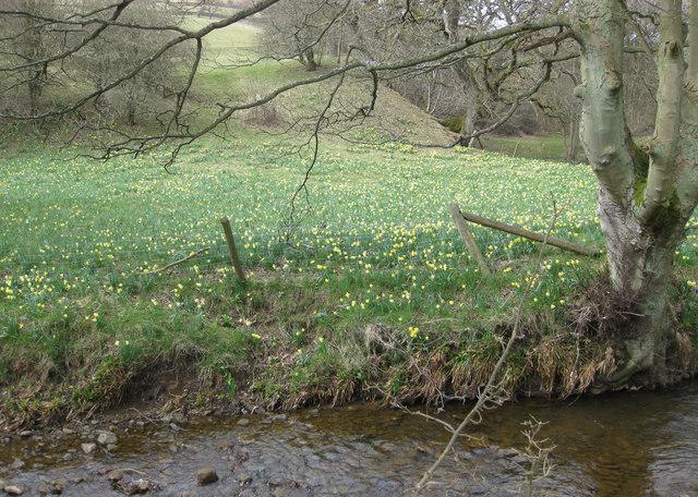 A field of wild daffodils (Lenten Lilies)