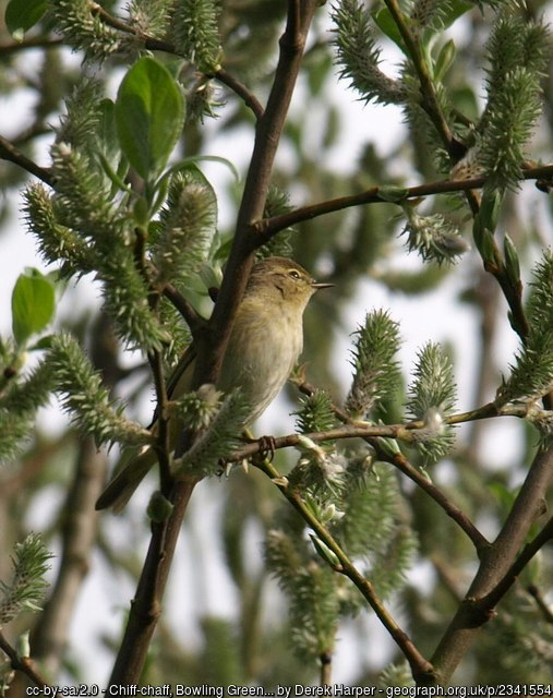 Photo of Chiff Chaff in early spring