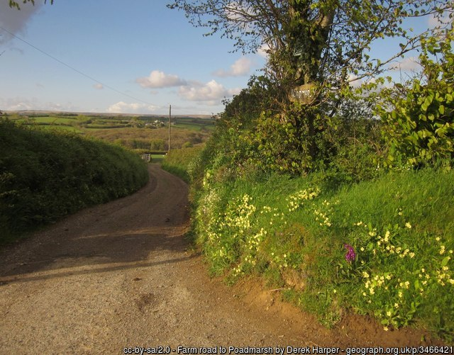 Roadside spring primroses in a Devon lane