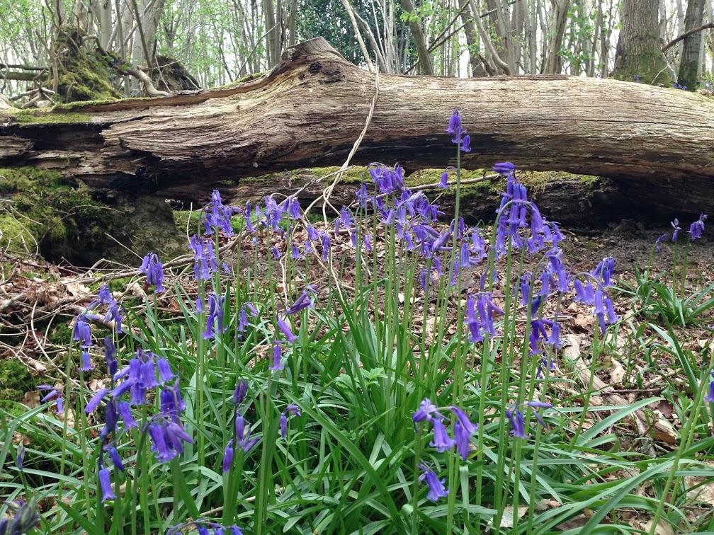 Bluebells by fallen tree in woodland