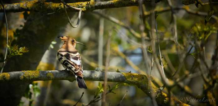 A Hoopoe sitting in tree
