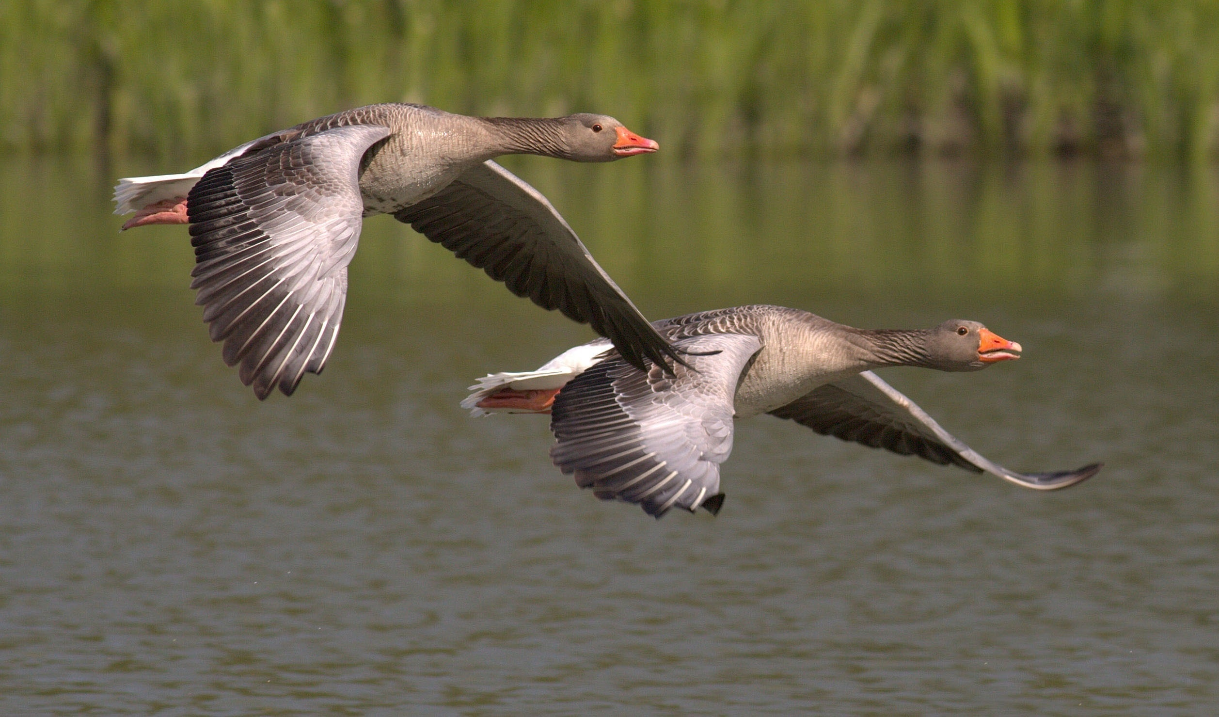 Two wild geese flying over river