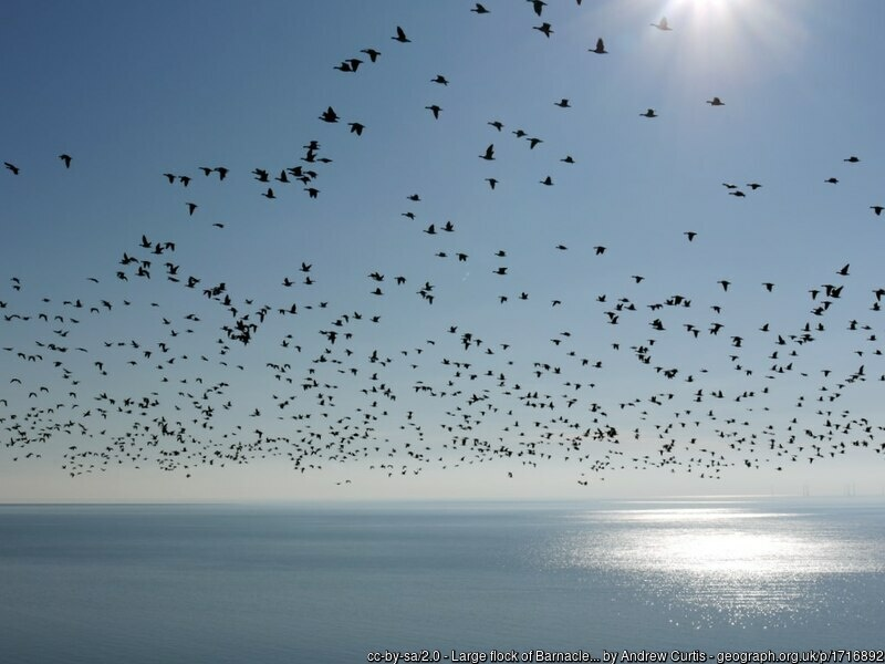 Flock of wild geese flying over the sea