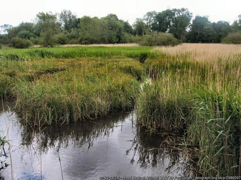 Reed beds at Arundel Wetlands