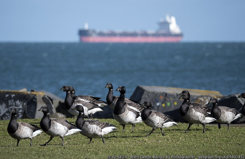 Brent geese with large ship in the background