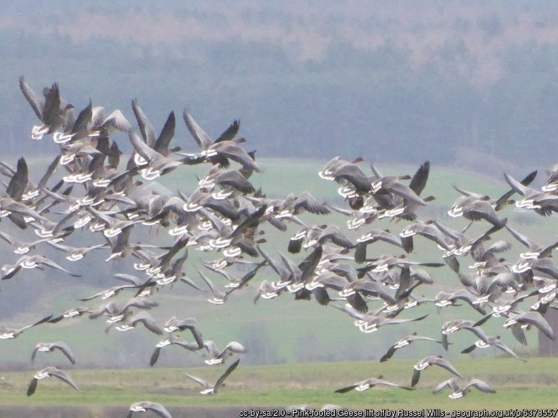 Large flock of geese taking off in flight