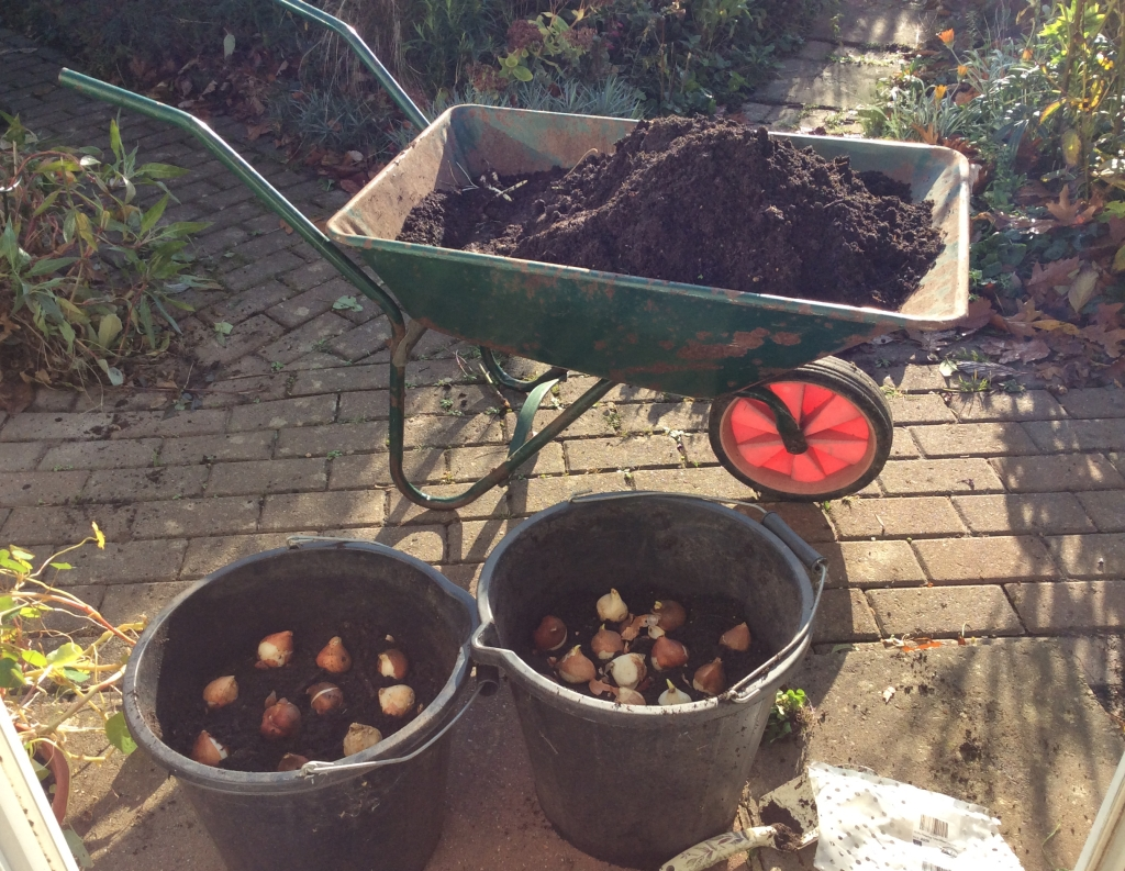 November - planting tubs of Tulip bulbs.