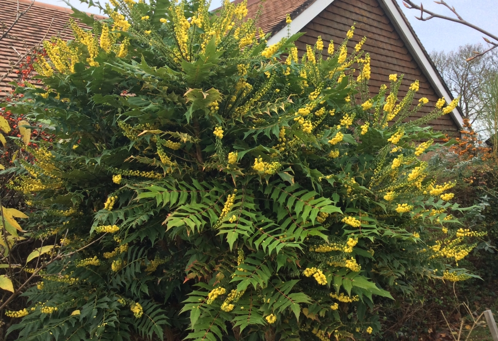 winter flowering bush of yellow mahonia
