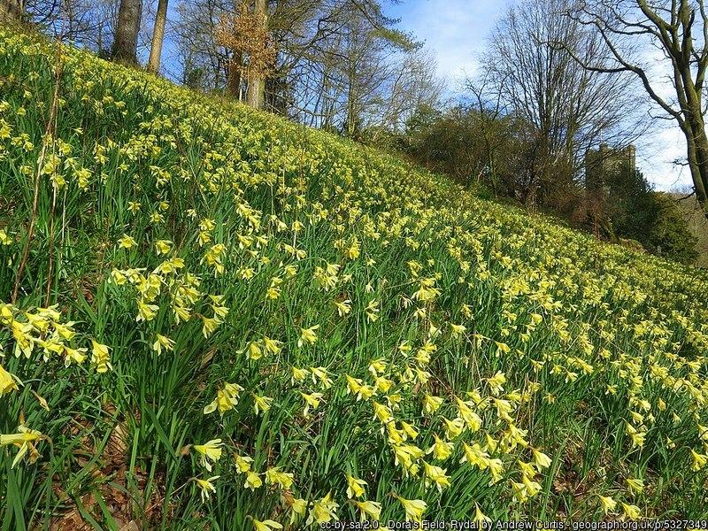 Daffodils in Dora's Field, Rydale