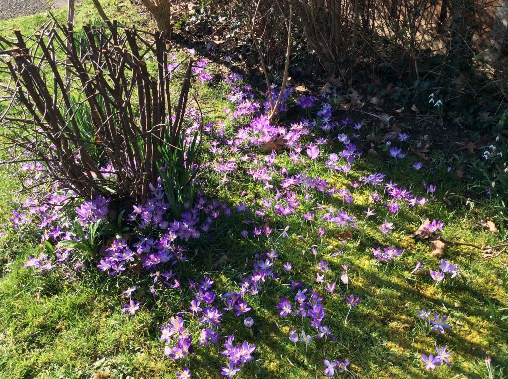 Crocus naturalised in lawn