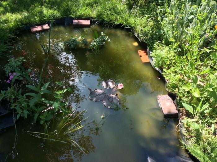 Evening reflections in a garden wildlife pond